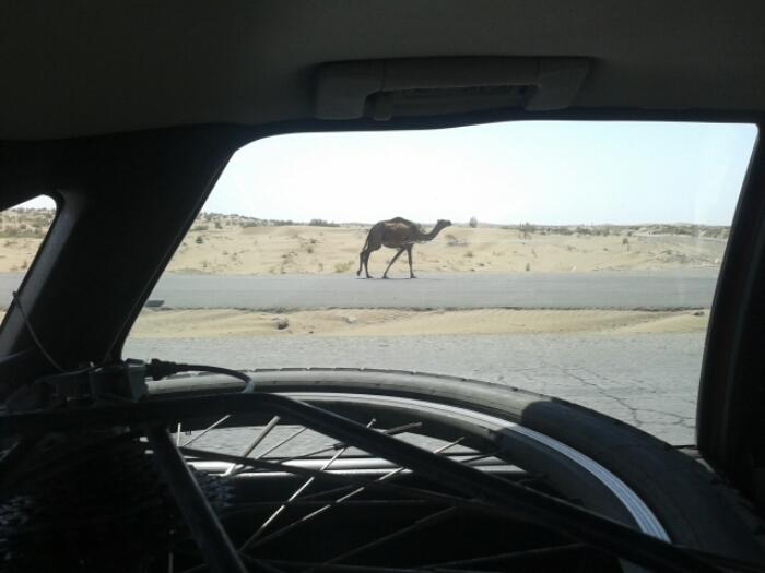 Camel in the Karakum desert